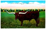 A Texas Longhorn (Steer), Width of Horns 9 ft. 6 in.