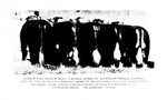 Beef Cattle of 1941